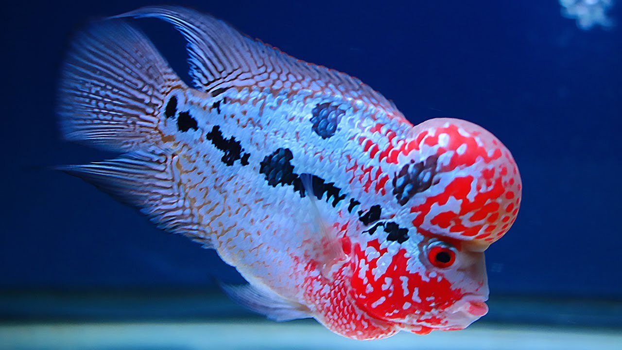 ปลาหมอสี