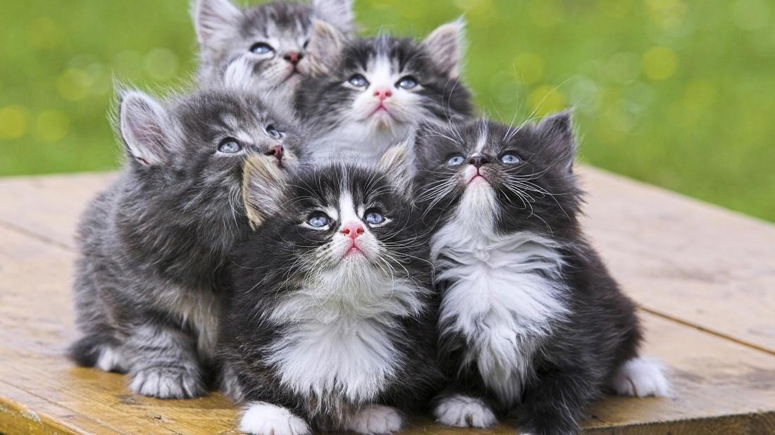 แมวกลุ่ม