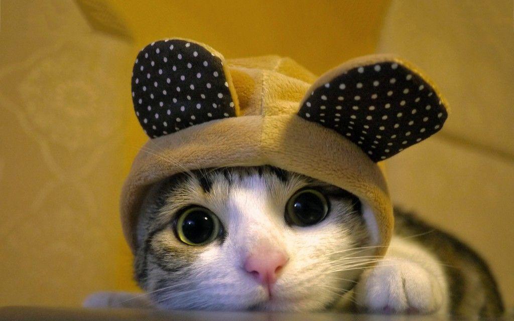 แมวใส่หมวก