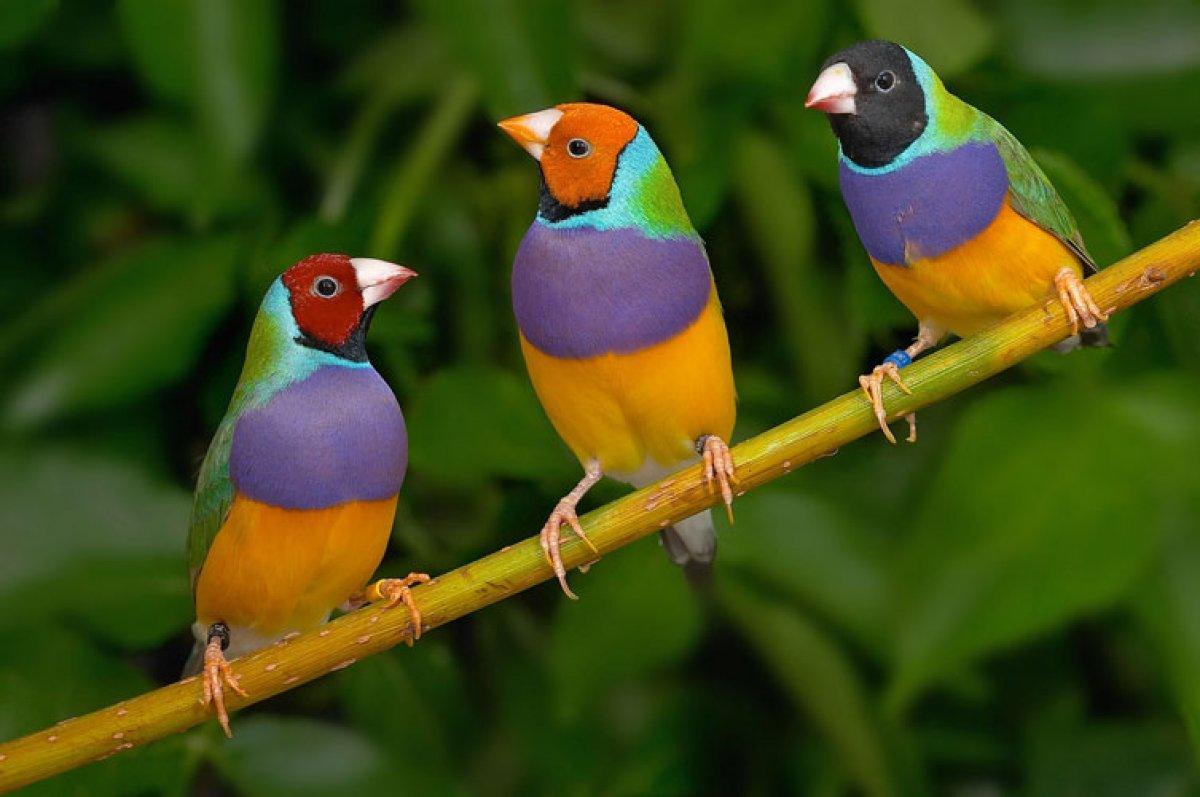 นกสามสี